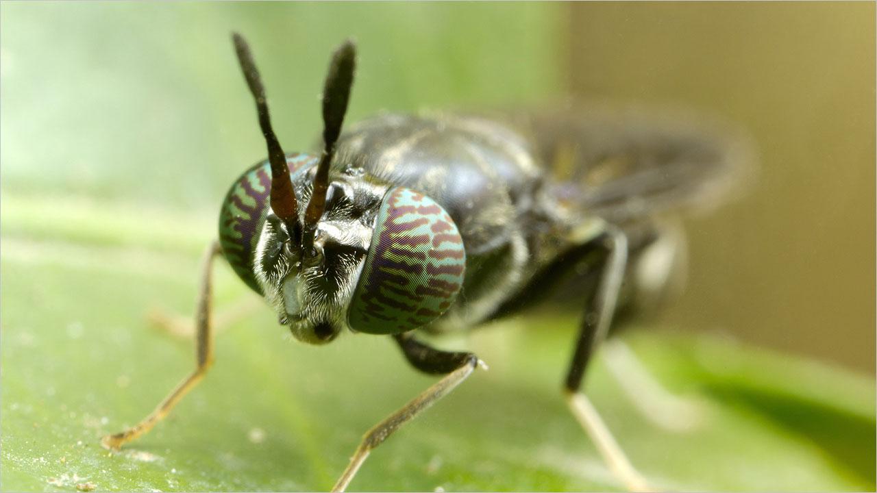 Black Soldier Fly
